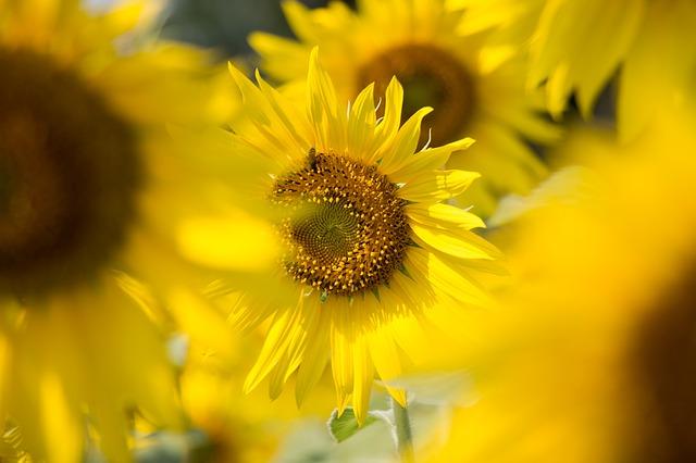 sun-flowers-560082_640